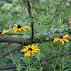 Black eyed Susans in the woods