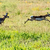 Antelope at Play
