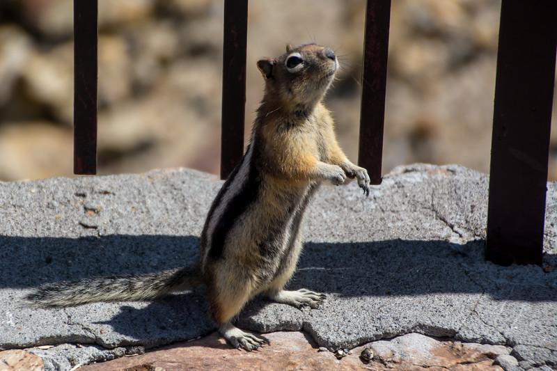 L Ground Squirrel