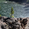 Lonely Pine at Upper Falls, Yellowstone, WY