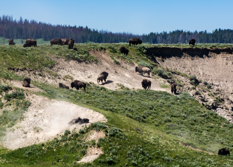 Bison Wallow in Action, Yellowstone, WY
