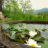 Spring with lotus flowers, hidden on the side of the road.
