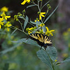 butterfly on that pretty yellow flower that we forget the name of