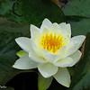 Lotus flowers, roadside spring