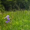 Field Irises