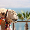 Camel at the Dead Sea