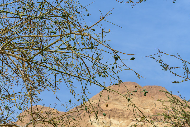Olives growing at Ein Gedi