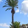 Palm tree at Megido