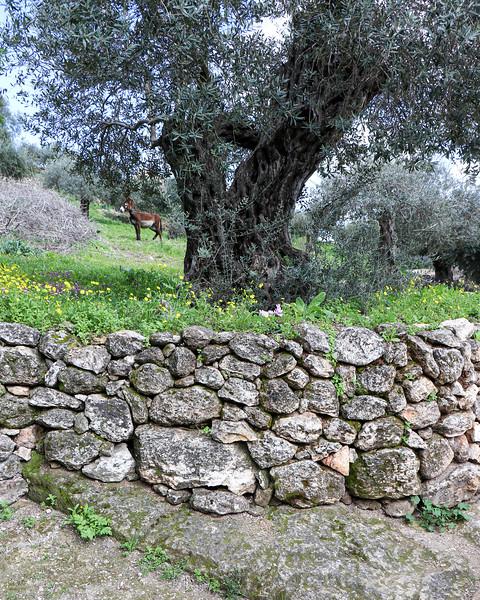Olive Tree on Terrace