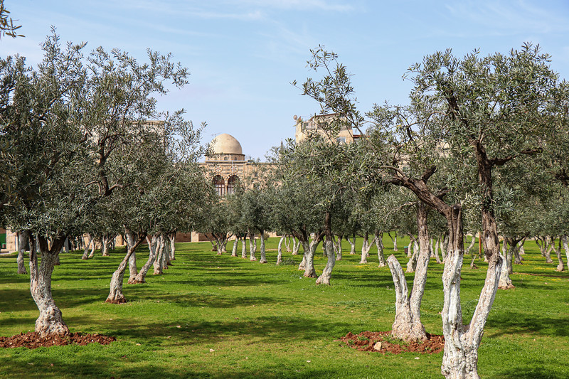 A few of the Olive Trees on the grounds of the Temple Mount.