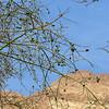 Olives growing at Ein Gedi