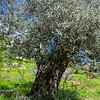 400 Year old Olive Tree