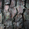 The pine tree bark