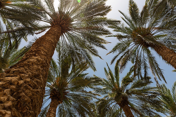 The Judean date palm is a date palm grown in Judea. It is not clear whether there was ever a single distinct Judean cultivar, but dates grown in the region have had distinctive reputations for thousands of years, and the date palm was anciently regarded as a symbol of the region and its fertility.