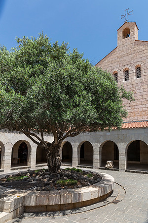 The courtyard with an old olive tree