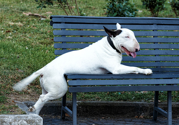 A very relaxed and happy British Bull Terrier - notice the paw!