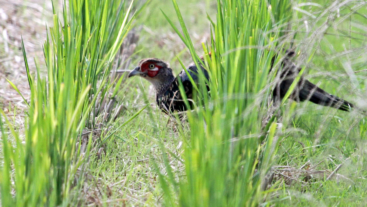 This is  a Japanese Green Pheasant in the rice field of Oi Town in Kanagawa Prefecture. The Green Pheasant is the Japanese national bird.