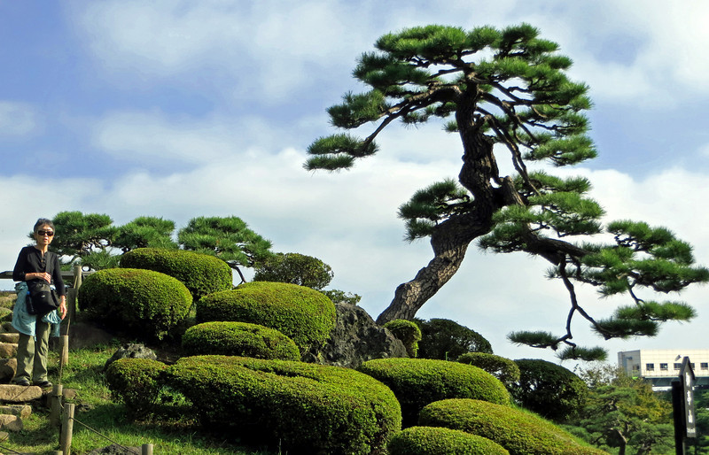 An Ochin'yama Black Pine  in Hama-rikyu Gardens. The garden is an example of the Edo Period.