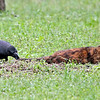 A Jungle Crow is harassing a feral cat in Hama-rikyu Gardens in Tokyo. The cat just got up and walked away.