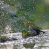 These are Japanese White-eyes bathing in a bird bath on Gongen-yama in Hadano City.