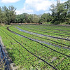 Daio-Wasabi Farm - Largest wasabi farm in Japan at 37 acres and irrigated by spring water.