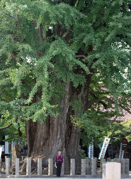 Takayama - A 1200 year old Ginkgo biloba tree at the Kokubu-ji, the oldest temple in town, founded in 746.