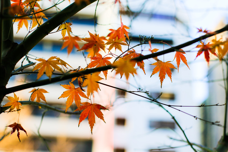 As the season looms in. Climate change has taken a toll with effects felt throughout Japan.
