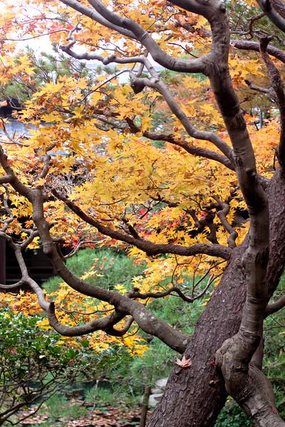 Japanese autumn tress