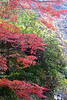 Japanese autumn tress