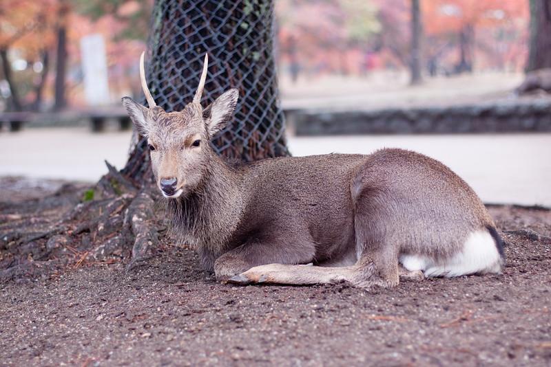 Lying deer