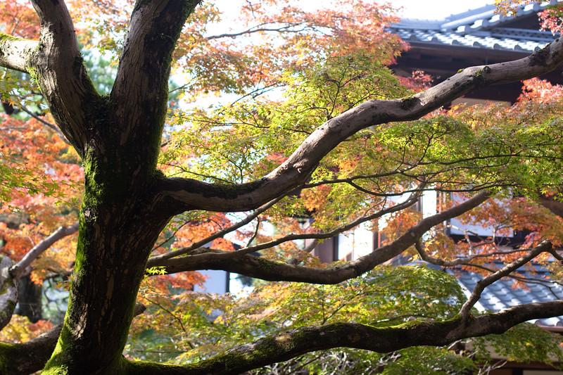 Japanese autumn tree