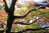 Japanese autumn tree