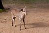 Standing young deer