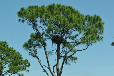 An eagle's nest with a young eagle