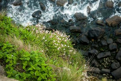 Sea Campion