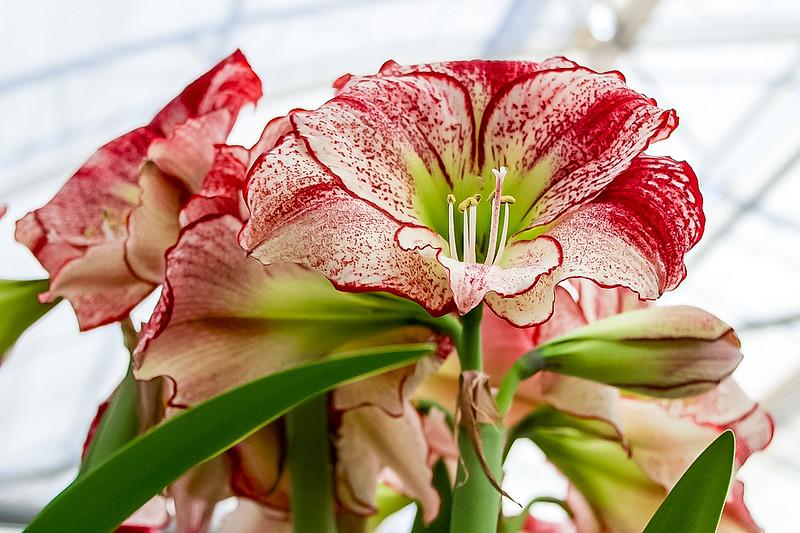 Flower in Keukenhof