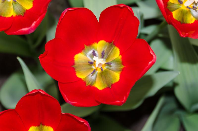 Tulips in Keukenhof