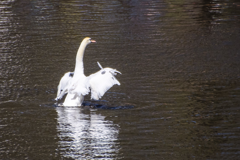 Swan in Keukenhof