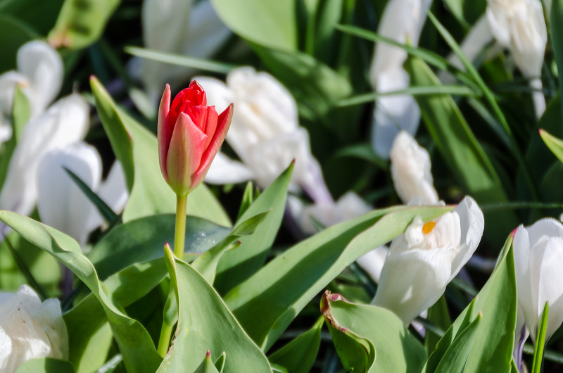 Tulip amoing Crocuses at Keukenhof