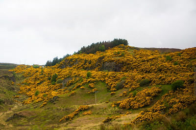 Gorse on the Hillside