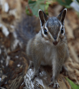 A Curious and Friendly Chipmunk near Lake Tahoe