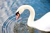 Regent's Park Swan