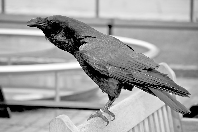 Raven at the scaffold site