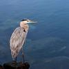 Heron, Long Beach