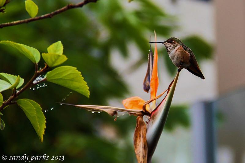 Hummingbird, on bird of paradise