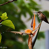 Hummingbird, on bird of paradise