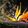 Bird of paradise, with bees.jpg