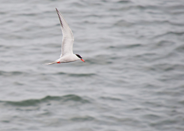 Tern in action over the water off Fort McClary in Kittery