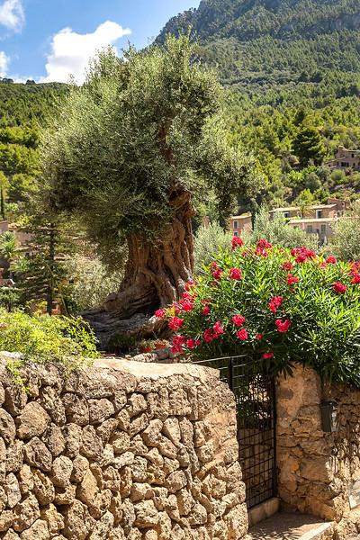 Beautiful olive tree snf flower bush