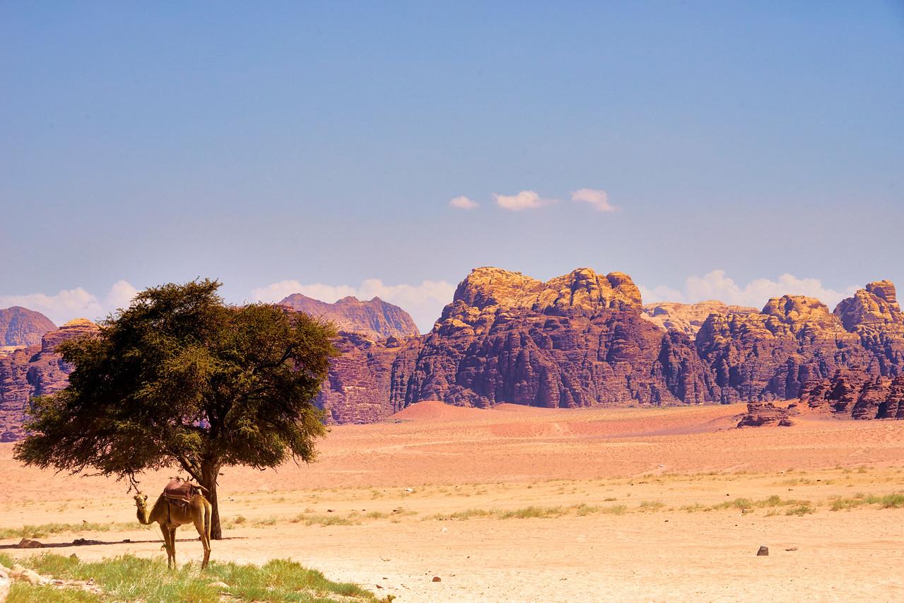 Camel and Mountains Wadi Rum